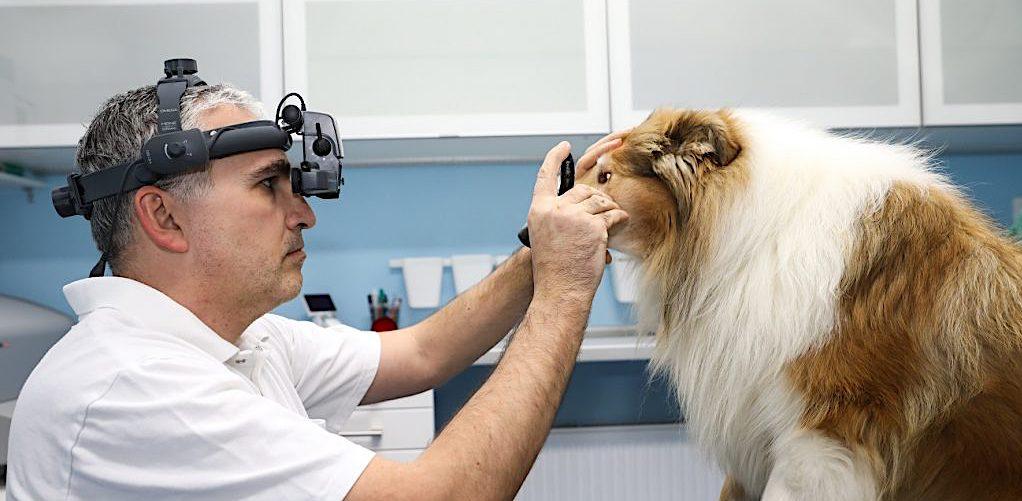 Ochorenia oči u kolii a seltii
