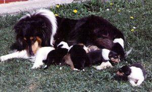 Herpesvírusová infekcia psov