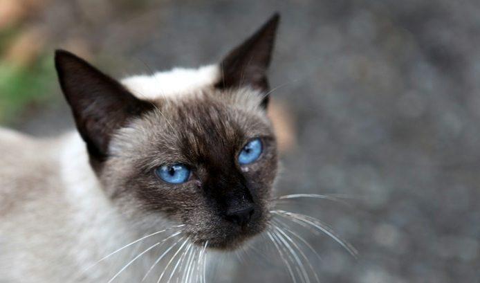 Hypertyreóza mačiek