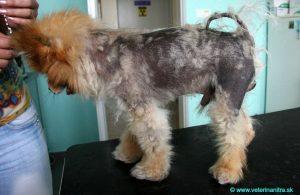 hypotyreoza psov