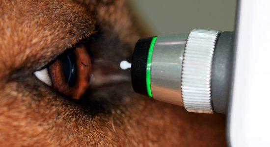 meranie ocneho tlaku u psa, glaukóm