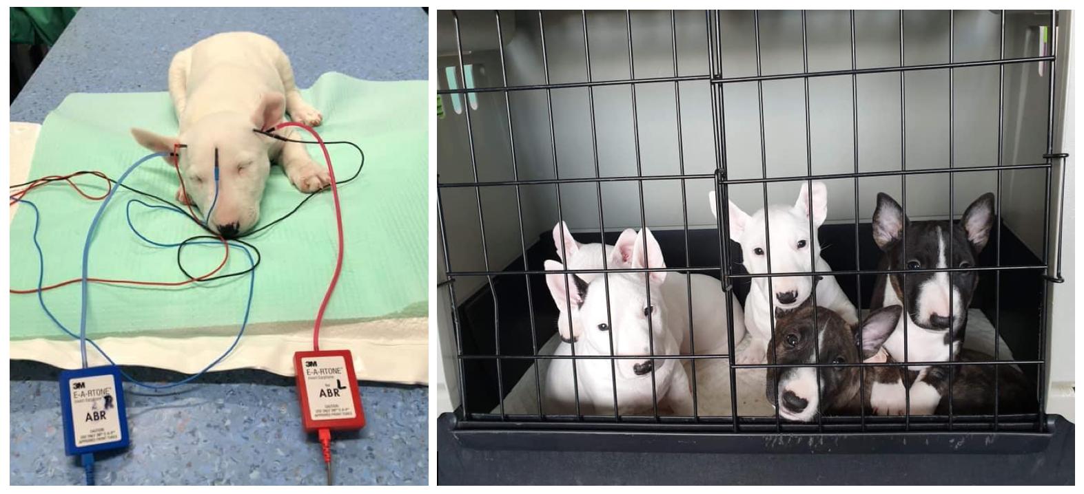 Diagnostika hluchoty u psov a mačiek