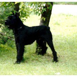 Pulmonálna stenóza (PS) u psov