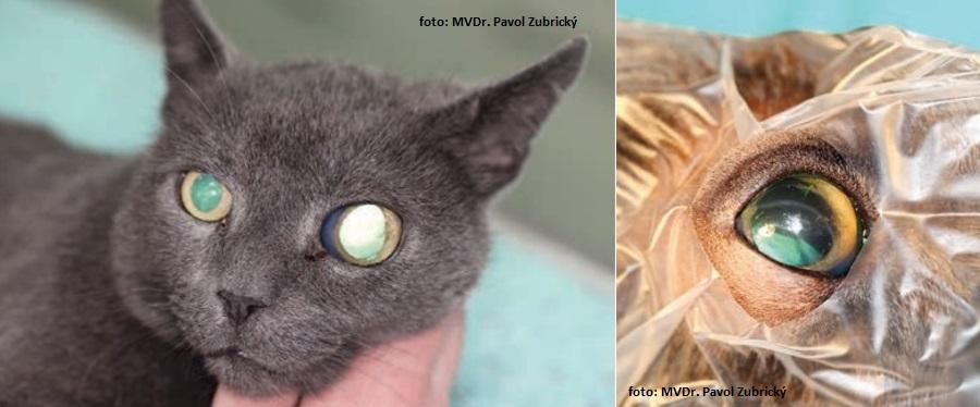 glaukóm u psa a mačky, zvýšený očný tlak