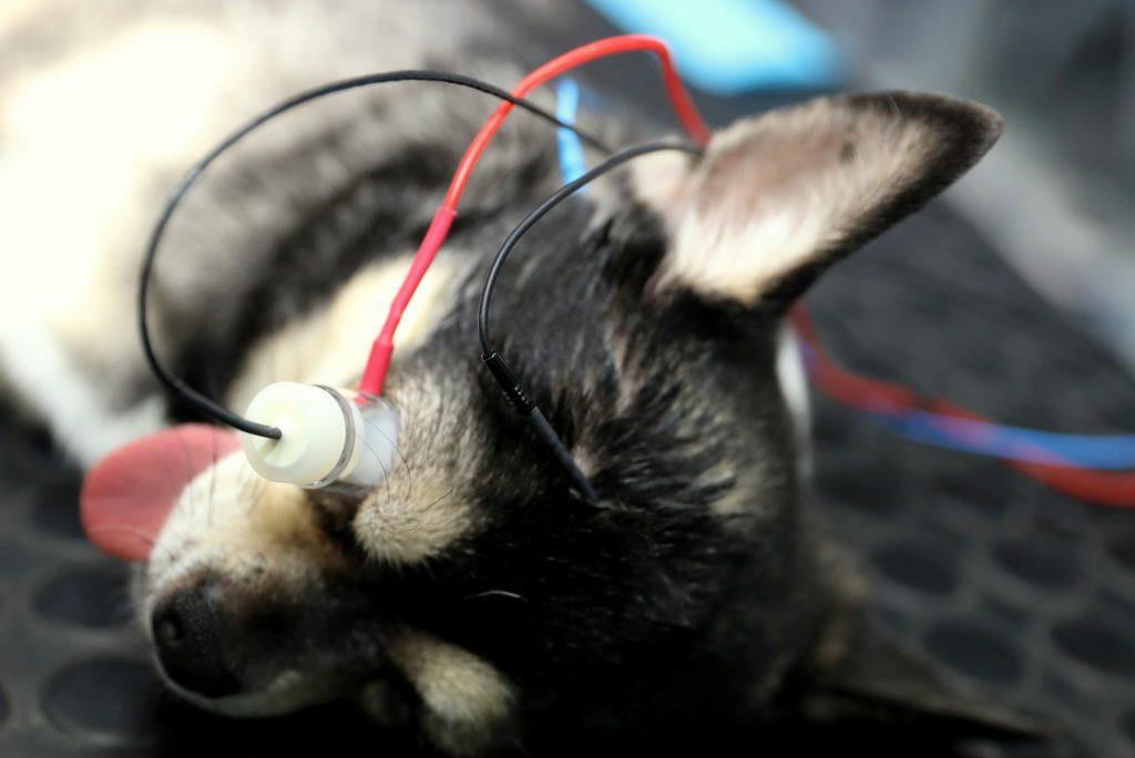 elektroretinografia (erg), u psov, mačiek, diagnostika slepoty, poruchy zraku, veterinárne očné vyšetrenie, diagnostika funkčnosti sietnice