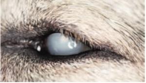 Slepota upsov a mačiek