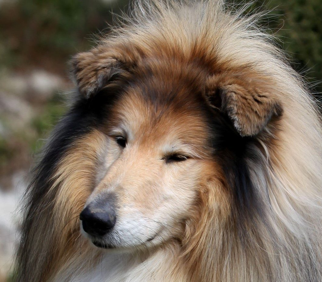 Staroba psa