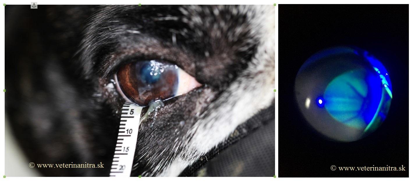 suché oko u psa