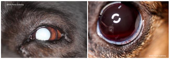 Očné prejavy systémových ochorení u psov a mačiek