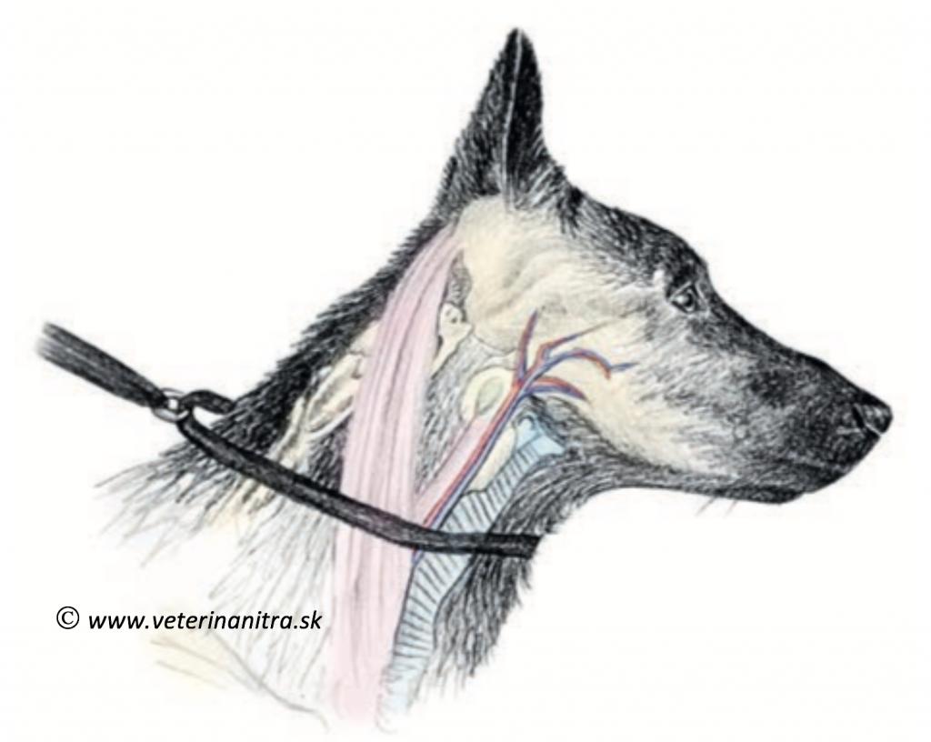 Ochorenia štítnej žľazy psov, hypotyreóza psa