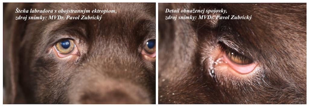 ektropium u psa
