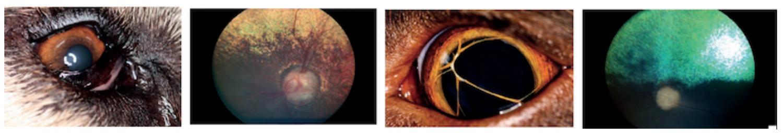 Dedičné očné ochorenia u psov, katarakta, luxácia šošovky, anomálie oka, abnormality viečok, oftalmologické vyšetrenie, hereditárne